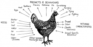 Permaculture_chicken