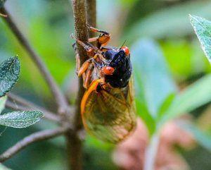 cicada-115603_960_720