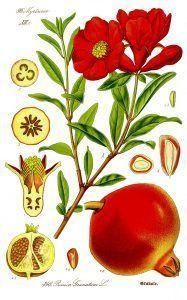 illustration_punica_granatum1