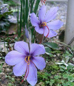 crocus_sativus2